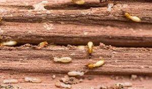 Termites in Fort Lauderdale