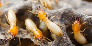 Termites-in-Homestead