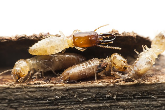 Termites-in-fort-lauderdale