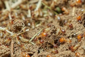 Termites-in-Hollywood-Florida